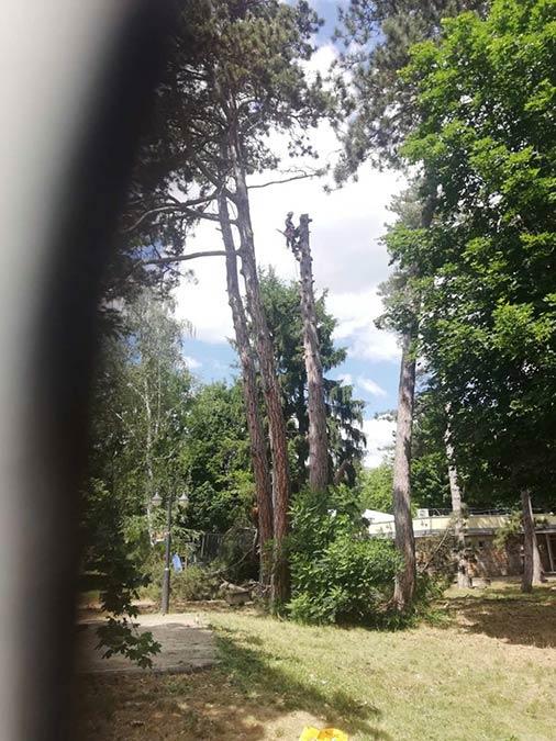 Alpintechnika magas fák kivágása